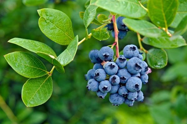 Blueberry bunch on a bush