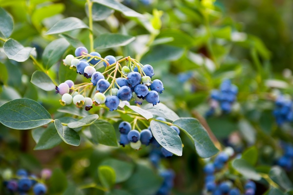 Blueberries on a bush ready for harvest