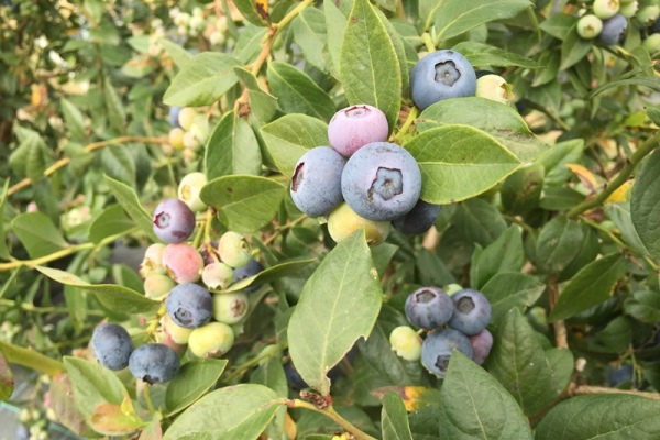 Ripening Blueberries on a bush