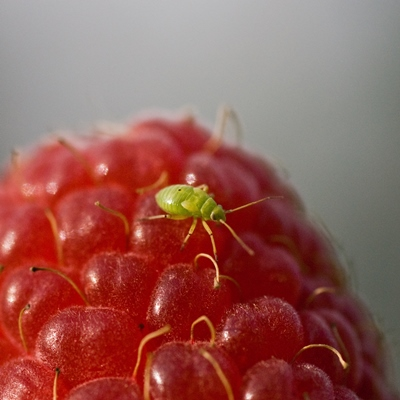 Aphid on a raspberry