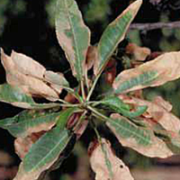 Damaged caused by Xylella Fastidiosa